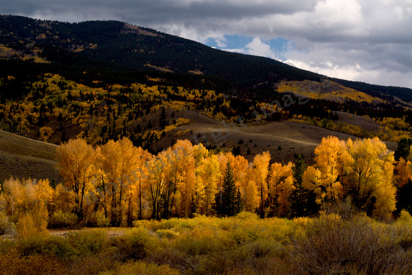 mountain light images fall on the blue river in summit county colorado. cottonwood trees can be as brilliant in fall as aspen