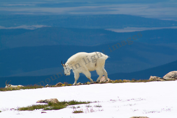 mountain light images mountain goat ram near the summit of mt evans seen with a distance view
