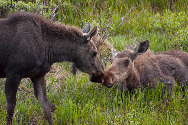 mountain light images moose cow and yearling calf bedding down for the night in rocky mountain national park in northern colorado. The young moose stays with its mother for at least a full year