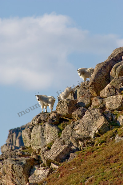 mountain light images mountain goats in a group keep an eye on strangers from a ridge on mt evans amid blue skies in colorado