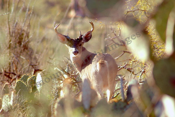 mountain light images in the hills of tucson this mule deer buck keeps an eye on my through the cactus of the desert