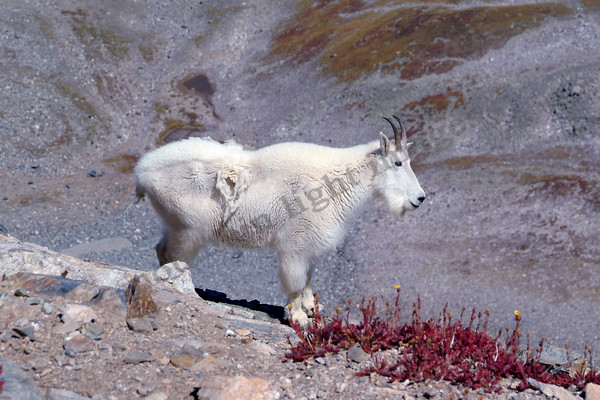 mountain light images mountain goat ram on torreys peak, a 14er in Colorado outside denver in the rocky mountains