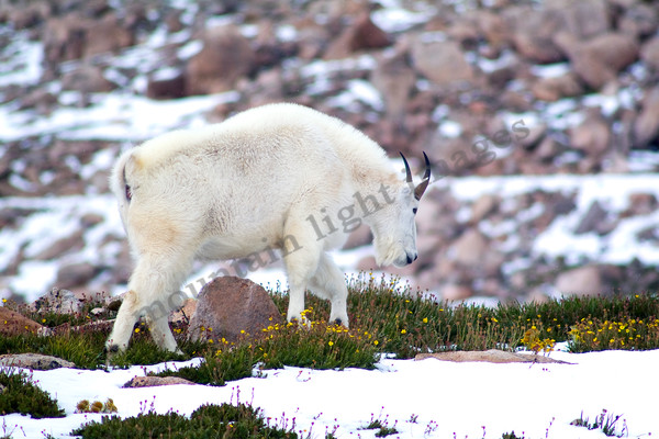 mountain light images mountain goat ram on mount evans wildlife in summer