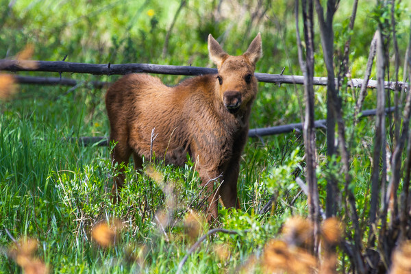 mountain light images very young moose calf in rocky mountain national park colorado lots of wildlife there babies too