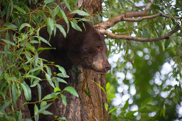 mountain light images a large black bear, boar, treed in downtown aspen colorado in summer