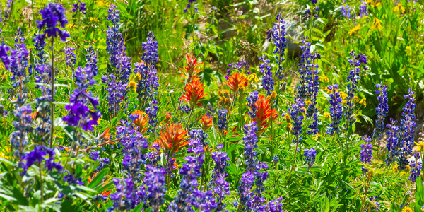 mountain light images mixed purple lupine and red paintbrush along the trail to Capital Lake Colorado