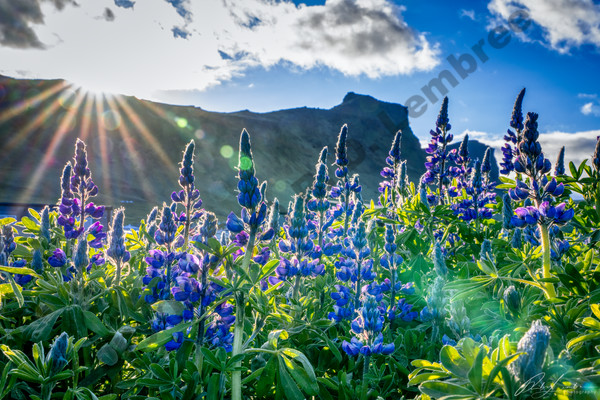 Dramatic field of lupins at sunset over a rugged mountainside in Vik.