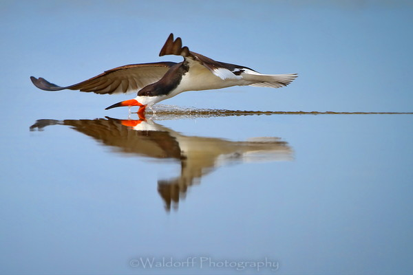 Black Skimmers of Florida Fine Art Photographs - Fine Art Prints on Canvas, Paper, Metal, & More