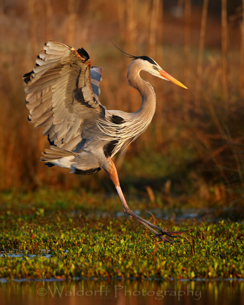 Heron and Egret of Florida Fine Art Photographs - Fine Art Prints on Canvas, Paper, Metal, & More