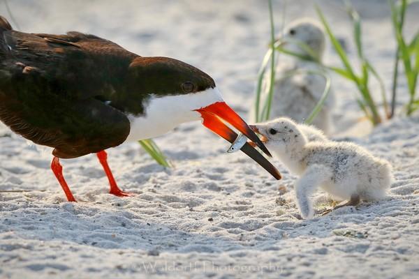 Black Skimmer feeding her chick | Navarre Beach, Florida | Fine Art Prints on Canvas, Paper, Metal, & More | Waldorff Photography