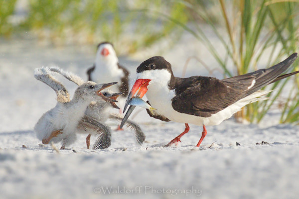Black Skimmer chicks squabbling over breakfast | Pensacola Beach, Florida | Fine Art Prints on Canvas, Paper, Metal, & More | Waldorff Photography