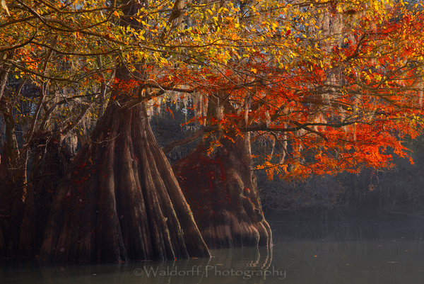 Southern Belles - Cypress Trees of Northwest Florida #1 | Fine Art Prints on Canvas, Paper, Metal, & More by Waldorff Photography