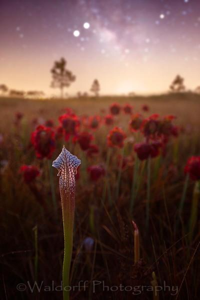 White Topped Pitcher Plant Fine Art Photo | Waldorff Photography
