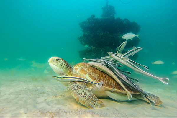 Green sea turtle with his entourage of remoras at the Navarre Beach Reef, Florida | Fine Art Prints on Canvas, Paper, Metal, & More | Waldorff Photography