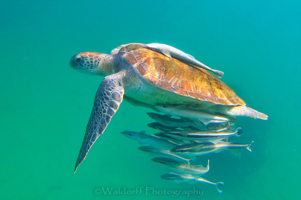 Green Sea Turtle swimming surrounded by remoras on the emerald waters of the Emerald Coast of Florida | Florida Photography.