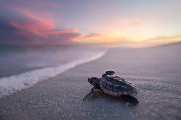 Baby Loggerhead Sea Turtle | Navarre Beach, Florida  | Fine Art Landscape Photography on Canvas, Paper, Metal