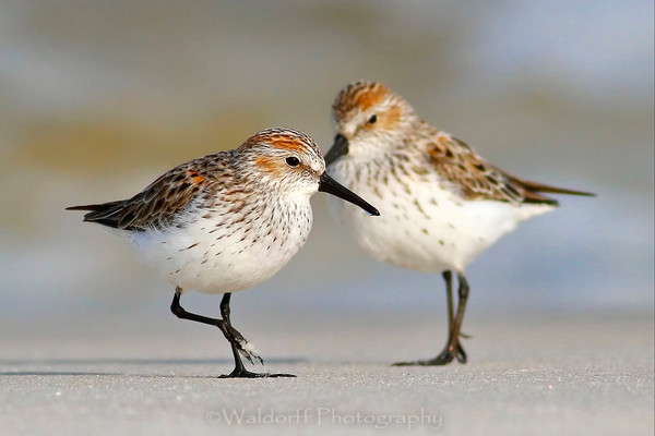 Western Sandpipers | Fine Art Landscape Photography on Canvas, Paper, Metal | Photography by Jeff Waldorff
