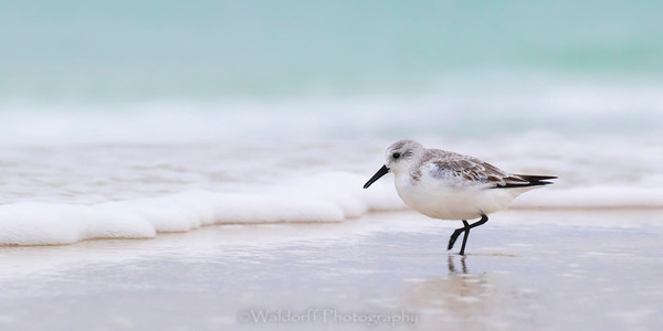 Sanderling Sandpiper walking the seashore | Emerald Coast, Florida  | Fine Art Landscape Photography on Canvas, Paper, Metal | Photography by Jeff Waldorff