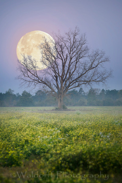 """Full """"worm"""" moon behind a lone tree located in Okaloosa County, Florida 
