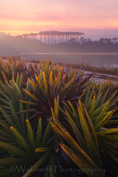 Sunrise over Palmettos at Western Lake in Grayton Beach | 30A | Fine Art Photo on Canvas, Paper, Metal, & More | Waldorff Photography.