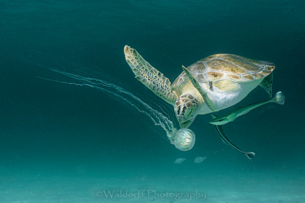 Sea Turtles of Florida's Emerald Coast | Fine Art Photography on Canvas, Paper, and Metal | Waldorff Photography