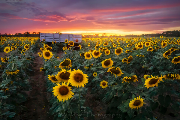 Sunflower Field | Holland Farms |Milton, Florida | Fine Art Landscape Photography on Canvas, Paper, Metal | Photography by Jeff Waldorff