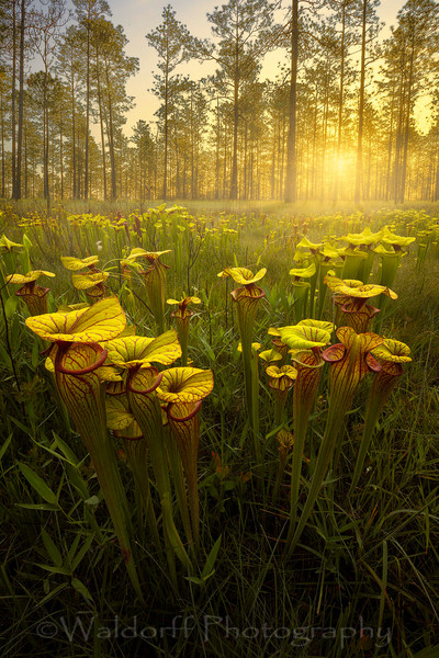 Sarracenia Flava hybrids | Golden Pitcher Plants| Northwest Florida | Fine Art Landscape Photography on Canvas, Paper, Metal | Photography by Jeff Waldorff