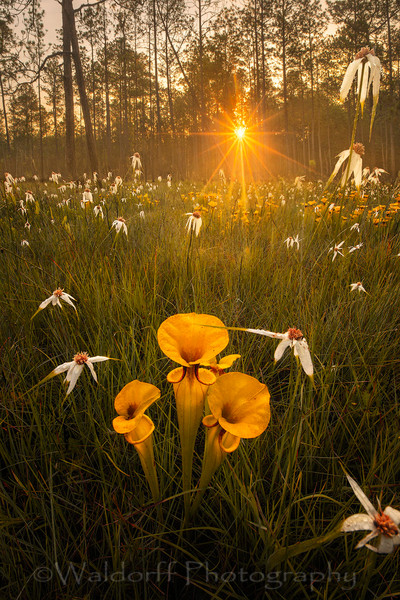 Sarracenia Flava Sunrise| Yellow Topped Pitcher Plants| Northwest Florida | Fine Art Landscape Photography on Canvas, Paper, Metal | Photography by Jeff Waldorff