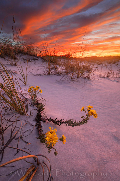 Yellow Fall Flowers along the Emerald Coast | Pensacola Beach, Florida | Fine Art Prints on Canvas, Paper, Metal, & More | Waldorff Photography