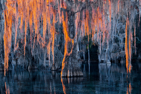 Cypress Trees of Northwest Florida - Cypress Thaw | Fine Art Prints on Canvas, Paper, Metal, & More by Waldorff Photography