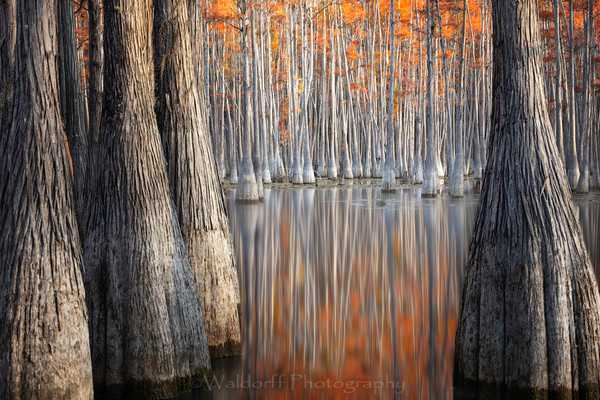 Cypress Trees of Northwest Florida - Autumn Room | Fine Art Prints on Canvas, Paper, Metal, & More by Waldorff Photography