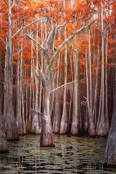 Cypress Trees of Northwest Florida - Center of Attention | Fine Art Prints on Canvas, Paper, Metal, & More by Waldorff Photography