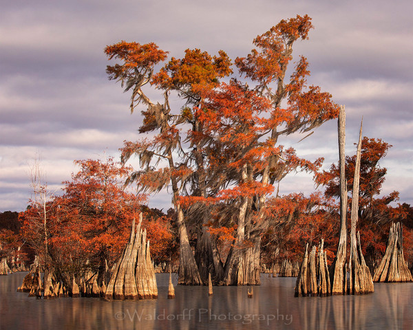 Cypress Trees of Northwest Florida #8 | Fine Art Prints on Canvas, Paper, Metal, & More by Waldorff Photography