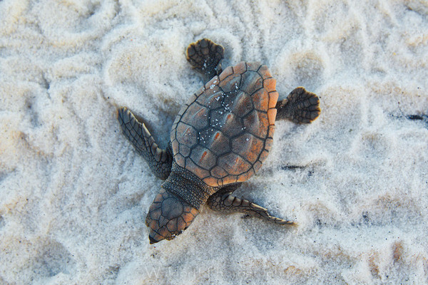 Loggerhead Sea Turtle Hatchling on the Emerald Coast of Florida  | Fine Art Photography on Canvas, Paper, and Metal