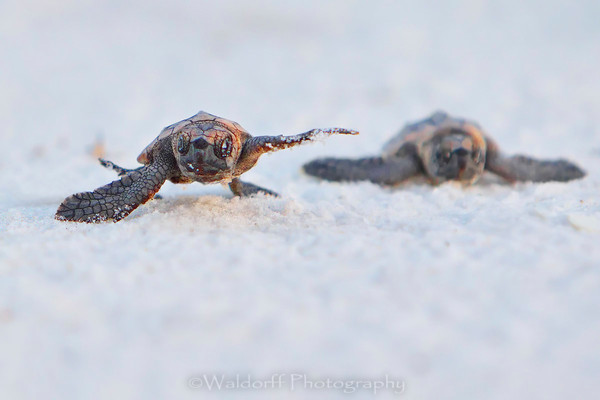 Loggerhead sea turtle hatchlings racing to the Gulf of Mexico on Navarre Beach of Florida  | Fine Art Wall Art on Canvas, Paper, and Metal