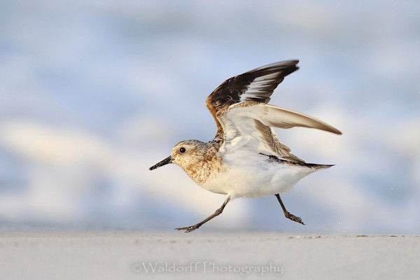 Sanderling at the beach on the Emerald Coast of Florida  | Fine Art Photography on Canvas, Paper, and Metal