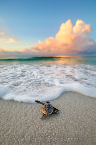 Baby Loggerhead Sea Turtle on the Emerald Coast of Florida  | Fine Art Photography on Canvas, Paper, and Metal