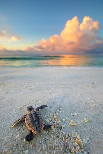 Loggerhead Sea Turtle Hatchling | Emerald Coast of Florida  | Fine Art Photography on Canvas, Paper, and Metal