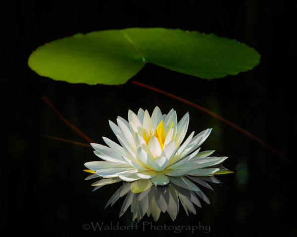 Water Lily #2 Photography Art | Waldorff Photography