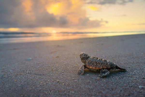 Baby Loggerhead Sea Turtle | Archie Carr |Atlantic Coast of Florida  | Fine Art Photography on Canvas, Paper, and Metal
