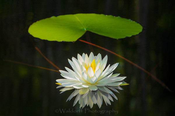 Water Lily from Northwest Florida | Fine Art Prints on Canvas, Paper, Metal, & More by Waldorff Photography