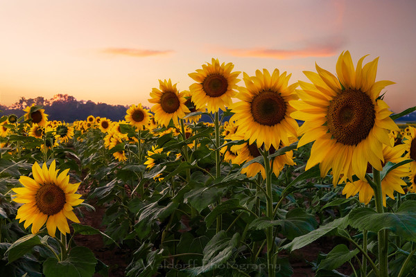 Sunflowers   Holland Farms   Milton, Florida   Fine Art Landscape Photography on Canvas, Paper, Metal   Photography by Jeff Waldorff