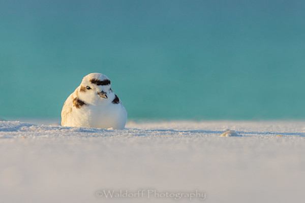 Huddled Snowy Plover on the Emerald Coast of Florida  | Fine Art Photography on Canvas, Paper, and Metal