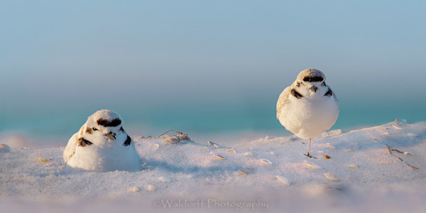 Two Snowy Plovers on the Emerald Coast of Florida  | Fine Art Photography on Canvas, Paper, Metal, and Acrylic