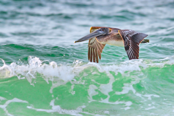 Brown pelican in flight on the Emerald Coast of Florida   Fine Art Photography on Canvas, Paper, and Metal