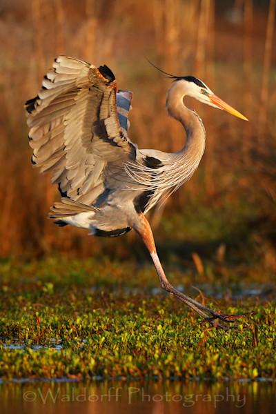 Great Blue Heron in flight | Okaloosa Island, Florida