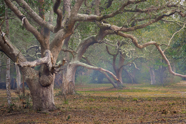Live Oaks Trees #2 of Northwest Florida | Gulf Breeze, FL | Fine Art Prints on Canvas, Paper, Metal, & More by Waldorff Photography.