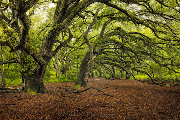 Live Oaks Trees #3 of Northwest Florida | Apalachicola National Forest, FL  | Fine Art Prints on Canvas, Paper, Metal, & More by Waldorff Photography.