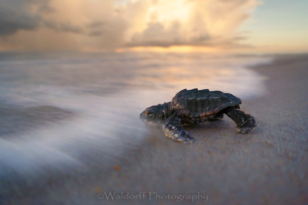 Loggerhead sea turtle hatchlings racing to the Atlantic Ocean on Archie Carr, Florida | Fine Art Wall Art on Canvas, Paper, Metal, and Acrylic