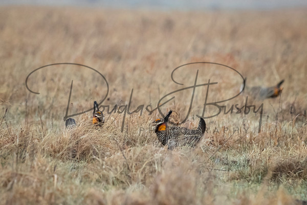 Prairie Chicken 6259 Edit Output Art | dougbusby